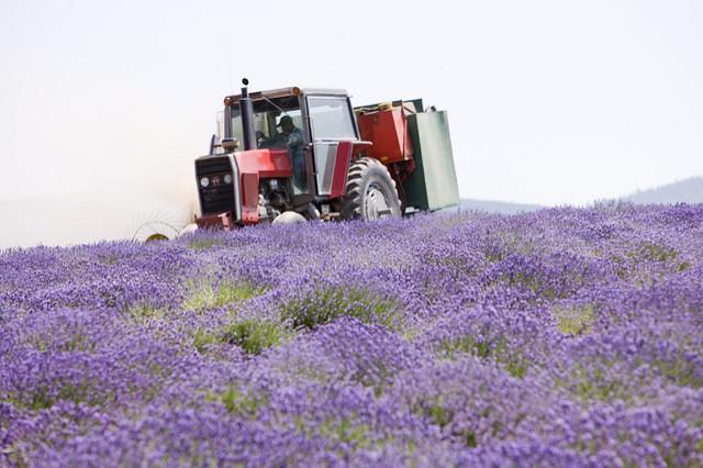 Lavender-farm-oil